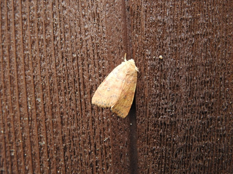 Dotted Sallow