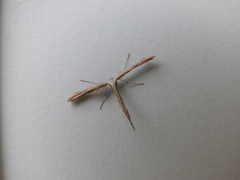 Morning-Glory Plume-Moth