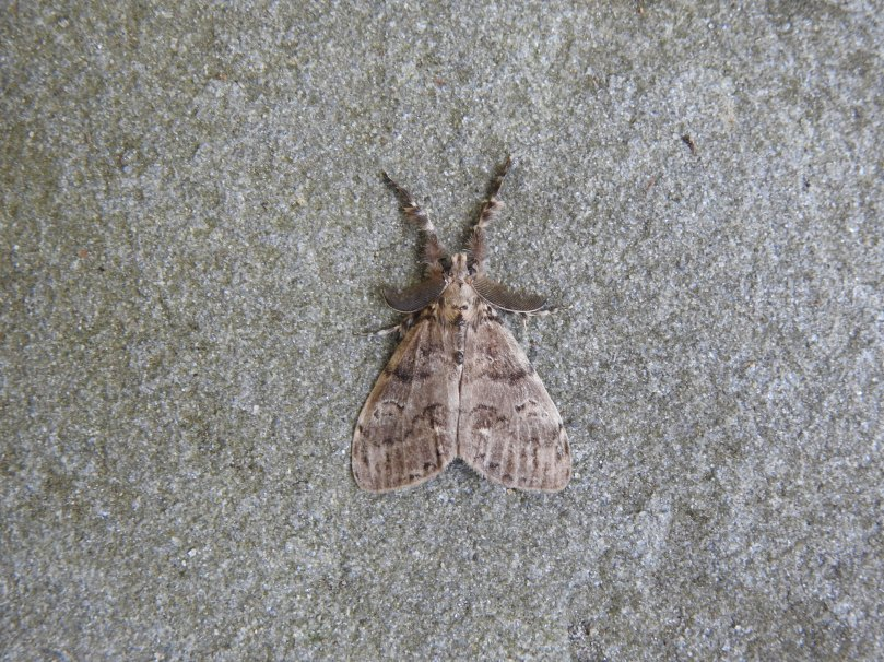 White-Marked Tussock Moth2