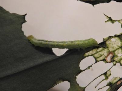 Soybean Looper caterpillar